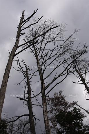 枯れ木の写真素材 [FYI00415757]