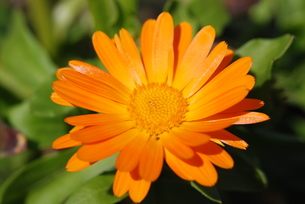 オレンジのガーベラの写真素材 [FYI00415785]