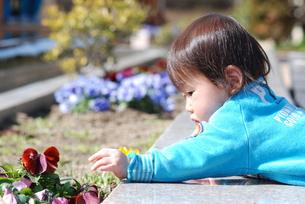 花壇のパンジーと遊ぶ子供の写真素材 [FYI00415792]