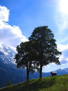 グリンデルワルトの牧草地に立つ2本の木の写真素材 [FYI00415831]