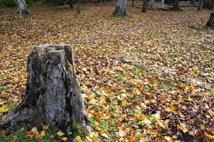 落ち葉の絨毯の素材 [FYI00415870]