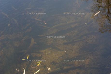 アメマスの川の写真素材 [FYI00415909]