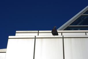 光る壁と鳩の写真素材 [FYI00415994]