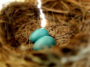 イソヒヨの青い卵の写真素材 [FYI00416015]