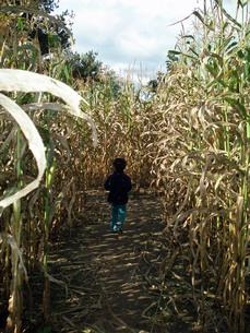 トウモロコシ畑を走る男の子の写真素材 [FYI00416052]
