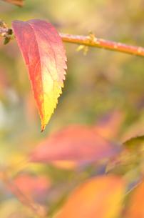 パステルカラーの紅葉の素材 [FYI00416297]
