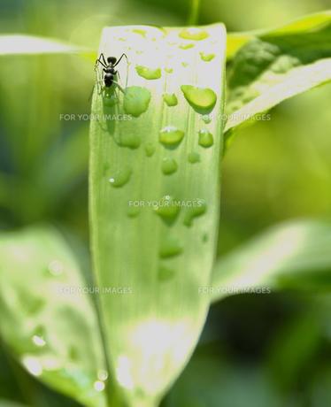 雨上がりの葉を登る蟻の写真素材 [FYI00416340]