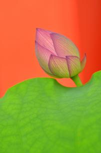 蓮のつぼみと葉の写真素材 [FYI00416351]