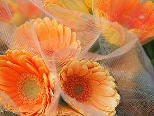 ガーベラの花束の写真素材 [FYI00416354]