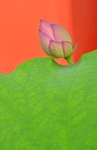蓮の葉とつぼみの写真素材 [FYI00416367]