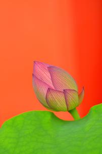 蓮のつぼみの写真素材 [FYI00416381]