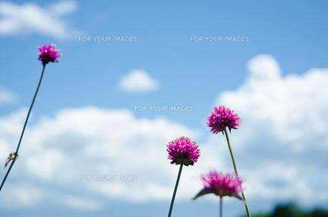 夏の高原の花と空の写真素材 [FYI00416567]