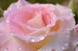 雨に濡れたバラの花びらの写真素材 [FYI00416571]