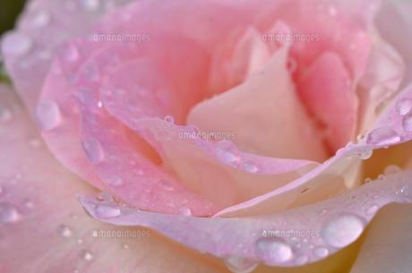 雨に濡れたバラの花びらの写真素材 [FYI00416579]