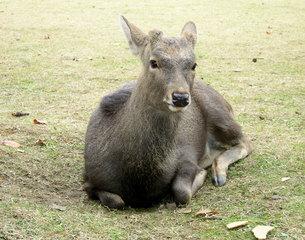 奈良の鹿の写真素材 [FYI00416756]