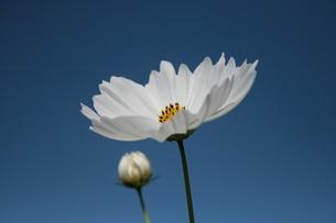 白いコスモスとつぼみの写真素材 [FYI00416814]