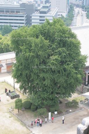熊本城の大銀杏の写真素材 [FYI00416826]