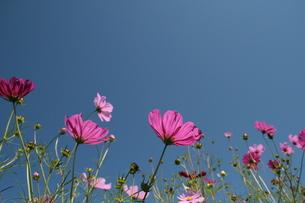 コスモスと青空の写真素材 [FYI00416832]