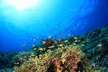 サンゴの写真素材 [FYI00416900]