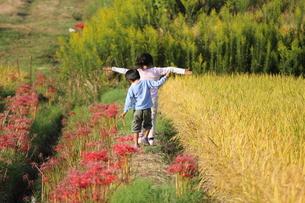 収穫前の田んぼで遊ぶ子供達・たんぼでおっとっとの写真素材 [FYI00417007]