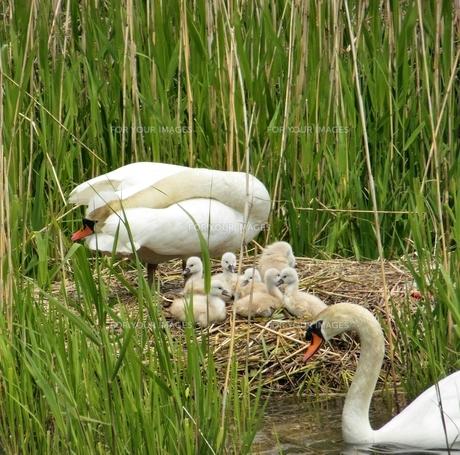 白鳥の家族 パート1の写真素材 [FYI00417009]