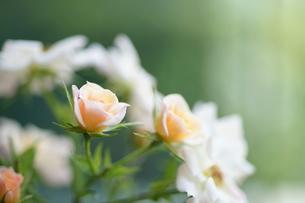 優しく静かに咲くオレンジのバラの写真素材 [FYI00417138]