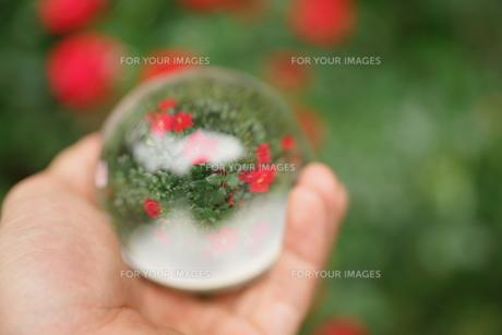 水晶玉の中の薔薇の写真素材 [FYI00417146]