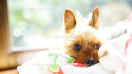 布団の上で休みながら何かに目をやる犬の写真素材 [FYI00417157]