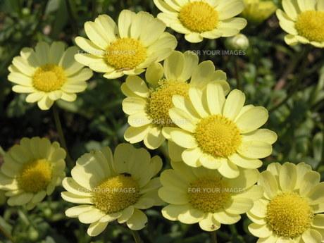 黄色い花の素材 [FYI00417189]