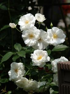 白いバラの写真素材 [FYI00417237]
