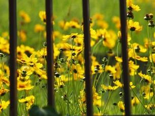 黄色い花と柵の写真素材 [FYI00417252]