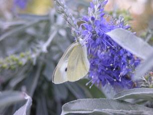 モンシロチョウ 蝶の写真素材 [FYI00417327]