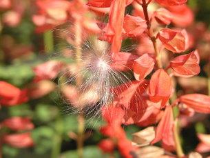種子の飛翔と赤い花の素材 [FYI00417359]