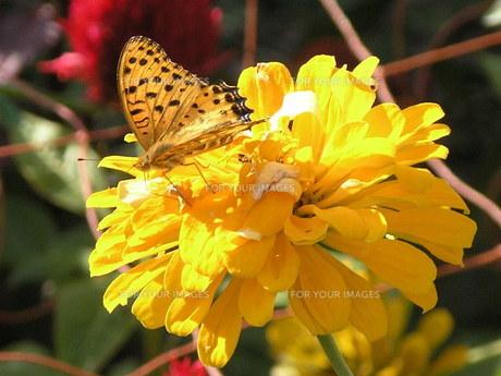 蝶と黄色い花の素材 [FYI00417361]