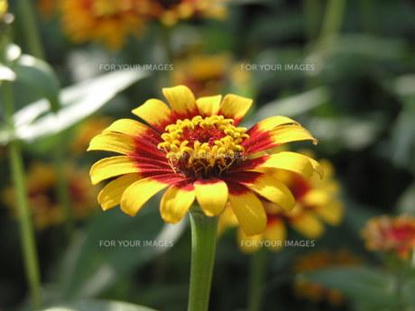黄色と赤い花の素材 [FYI00417366]
