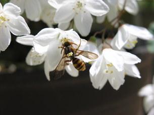 ハチと白い花 の素材 [FYI00417398]