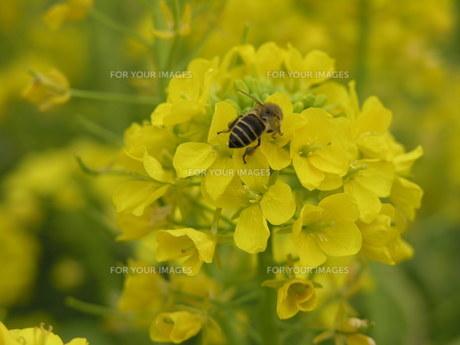 菜の花 ミツバチの素材 [FYI00417420]