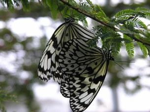 蝶の交尾の素材 [FYI00417451]