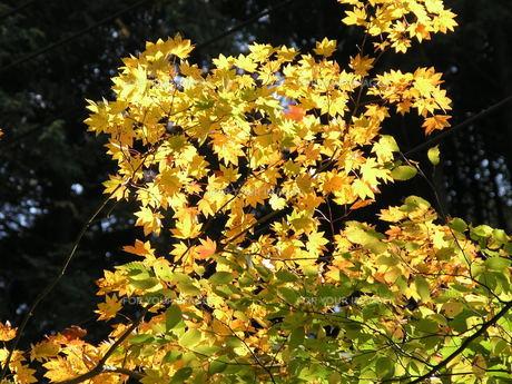 黄葉と光の素材 [FYI00417475]