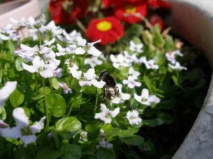 蜂と白い花の素材 [FYI00417540]