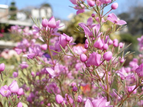 ボロニア ホワイトラブ ピンクの花の素材 [FYI00417542]