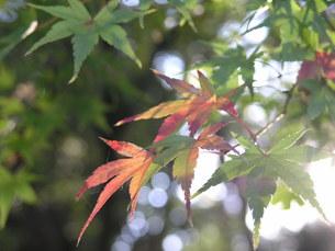 木漏れ日の紅葉の素材 [FYI00417551]