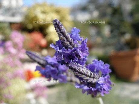 紫の花の素材 [FYI00417552]
