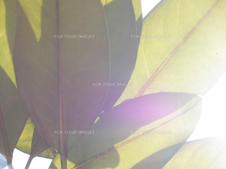 葉裏と光線の素材 [FYI00417554]