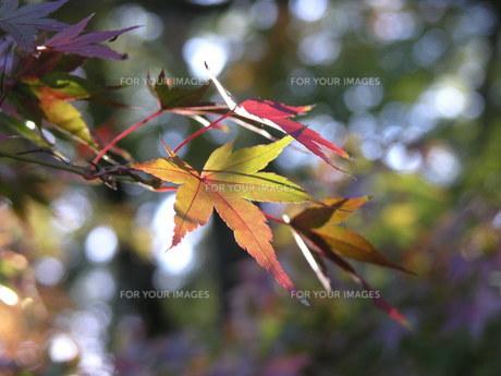 木漏れ日の紅葉の素材 [FYI00417557]