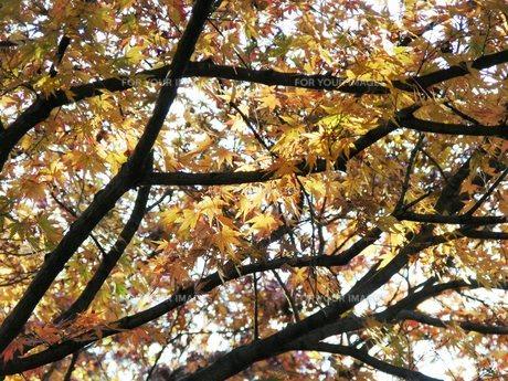 黄葉の枝の素材 [FYI00417561]