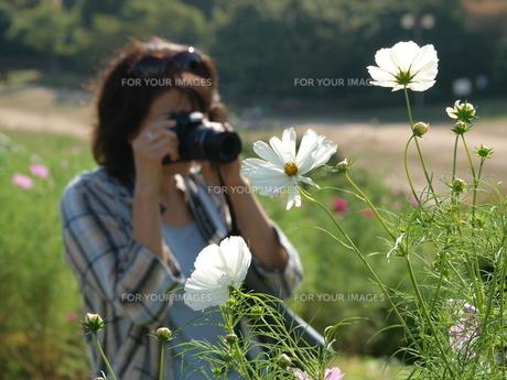 コスモスとカメラマンの写真素材 [FYI00417566]