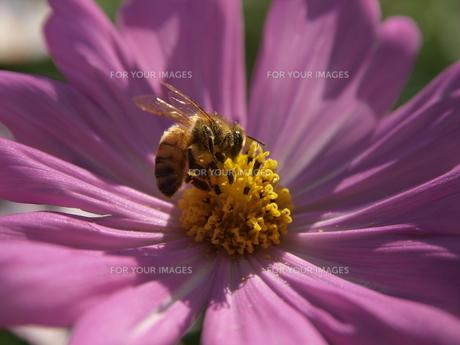 ミツバチとコスモスの素材 [FYI00417579]