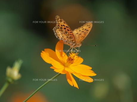 蝶とコスモスの素材 [FYI00417587]