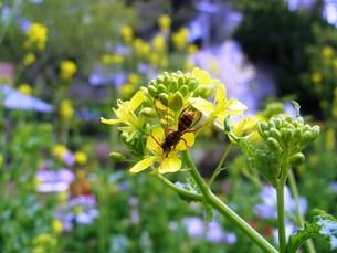 ハチと菜の花の素材 [FYI00417607]